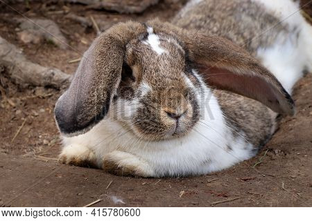 Domestic Rabbit Resting And Basking In The Sun During A Break. Oryctolagus Cuniculus Domesticus Lies