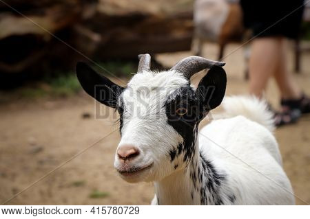Closeup Of The Head Of A Clever White-black Domestic Goat With Small Horns. Animal Raised For Milk,