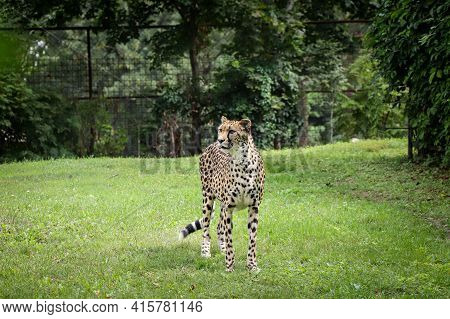 Female Panthera Pardus Stands Proudly In Its Territory And Looks At What Is Happening In Nature. Pla