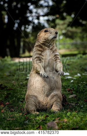 Smile Expression Of A Young Black-tailed Prairie Dog Rodent Standing On Its Hind Legs And Looking Ou