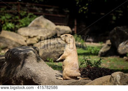 Black-tailed Prairie Dog Stands Guard In Front Of His Burrow And Defends His Sons And Daughters. Cyn