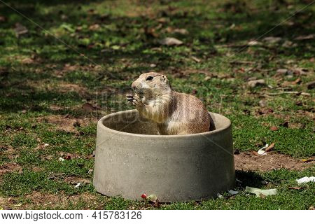 Cute Black-tailed Prairie Dog Sits On Its Butt And Holds A Piece Of Fruit In Its Tapes And Eats Its