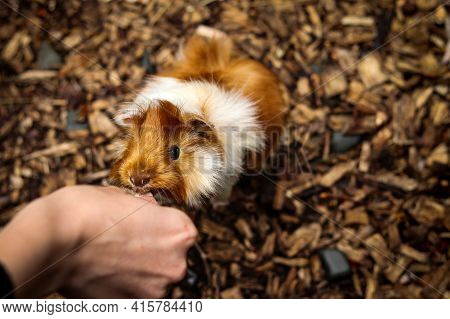 Cute Red Guinea Pig Stretches For Chips Straight From The Breeder's Hand. Feeding A Small Animal. Ca