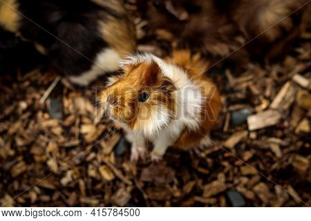 Cute And Exploratory Look Of A Young Furry Guinea Pig Standing On Its Back And Looking Through A Pad