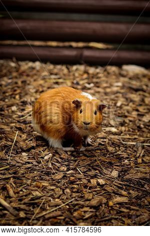 Surprising Expression Of A Red-haired Guinea Pig Looking With Its Mouth Open. Domestic Cavy Stands M