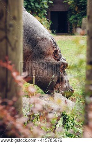 Huge Creature Eats Grass At Lunch. Hippopotamus Amphibius Is Dedicated To Feeding His Great Figure.