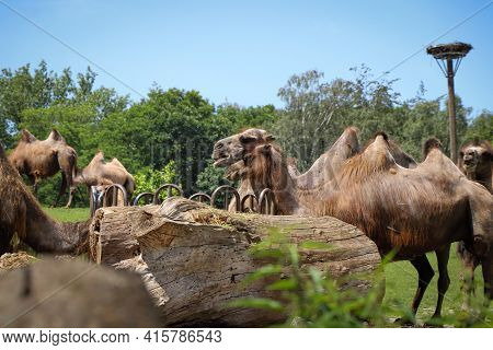 Group Of Domestic Bactrian Camel Eats Dry Grass For Lunch. Lunch Together For Large Mammals. Camelus