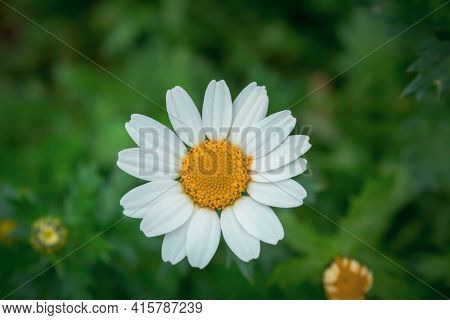 Daisy In The Grass. Daisy Left Alone In Nature. Daisy Background. Photo Nature Photo Focused On Dais