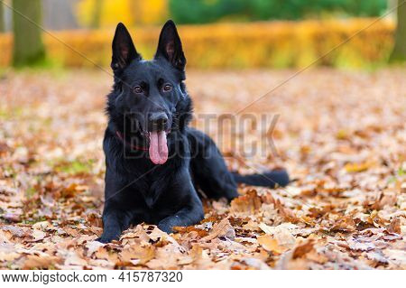Black German Shepherd Performing The Command To Lie Down. Obedience Training. Pet In Autumn In The P