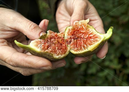 Homemade Ripe, Juicy And Colorful Figs In Female Hands. A Farmer Checks The Quality Of The Figs. The