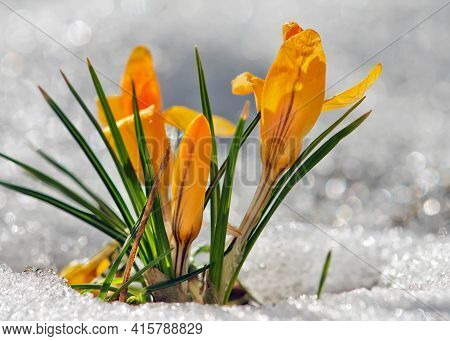 A Bright Yellow Crocus Blooms In The Garden. A Few Crocuses. The Sharp Arrows Of The Leaves Surround