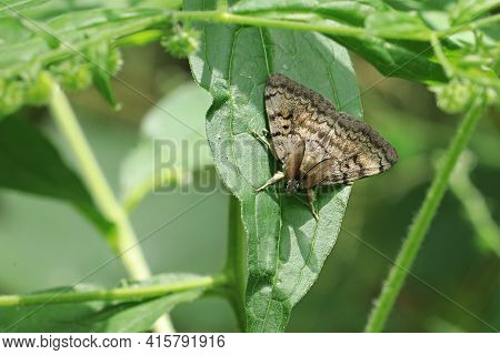 A Male European Gypsy Moth, Lymantria Dispar, A Destructive Invasive Species In North America