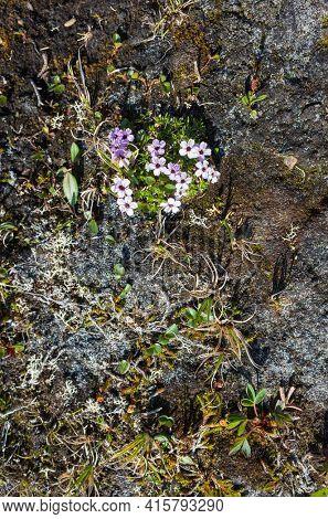 Tiny tundra flowers Moss Campion (Silene acaulis) in Swedish Lapland. Arctic nature of Scandinavia