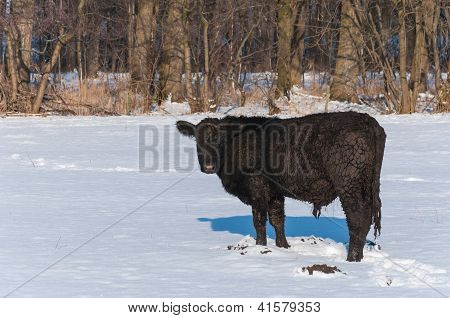 Black Angus Bull Standing In A Snowy Meadow