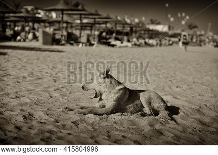 Evening On The Shore Of The Red Sea, Egypt Dahab. A Stray Dog Lies On The Sand, Evening