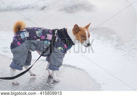 Portrait Of Basenji Dog Wearing Winter Coat And Standing On  Ice  Covered Ground And Showing Displea
