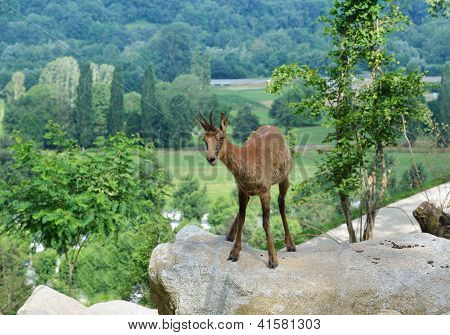 Pyrenean Chamois In Summer Mountains