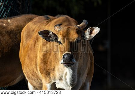 Banteng, Bos Javanicus Or Red Bull It Is A Type Of Wild Cattle But There Are Key Characteristics Tha