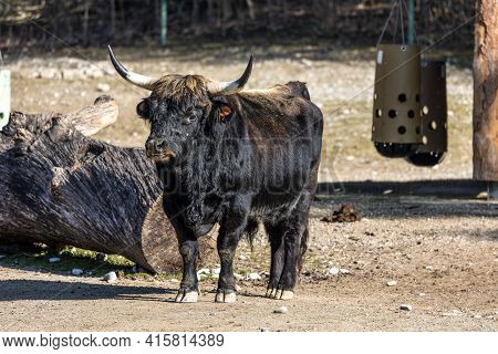 Heck Cattle, Bos Primigenius Taurus, Claimed To Resemble The Extinct Aurochs. Seen In A German Park