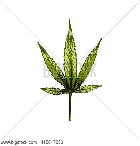 Marijuana Ruderalis Leaf. Vector Color Vintage Hatching Illustration Isolated On A White Background.