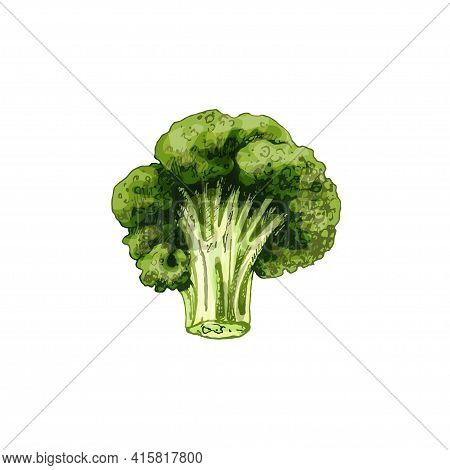 Broccoli. Vector Color Vintage Hatching Illustration Isolated On A White Background.