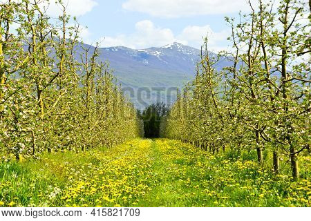 Blossoming Apple   Garden Orchard In Spring. Image