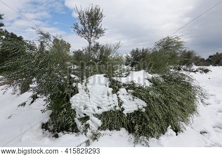 Olive Trees Flattened Under Snow After Snowstorm. Damaged Crop.