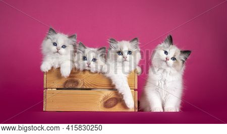 Row Of Adorable Ragdoll Cat Kittens, Sitting In And Beside Wooden Crate. Looking Towards Camera With