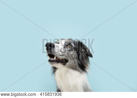 Portrait Attentive Border Collie Looking Up. Concept Pet Obedience. Isolated On Blue Colored Backgro
