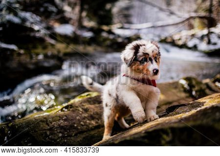 Adorable Australian Shepherd puppy on mountains adventure.