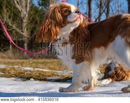 A Cavalier King Charles Spaniel Stands Outside On A Patch Of Snow In The Sunlight. The Young Dog Is