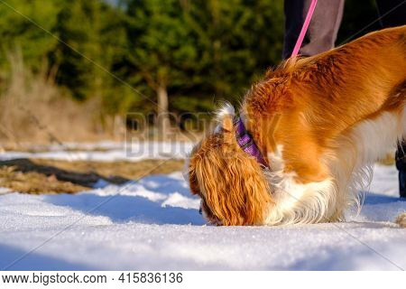 A Cavalier King Charles Spaniel Out For A Walk Sniffs A Large Patch Of Snow On The Ground. The Pet D