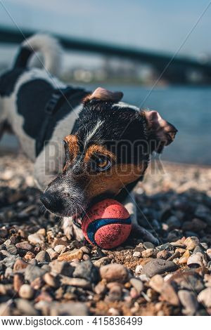 Jack Russell Terrier Dog Playing With Toy Ball On River Beach