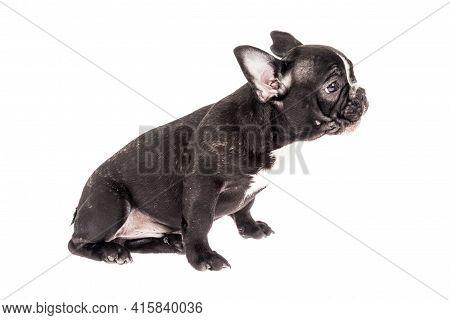 Tender Mascot - Black French Bulldog Baby, Photo On White Background.