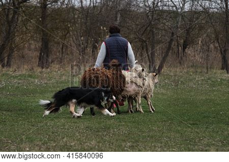 The Border Collie Gathers The Sheep Into A Single Herd And The Shepherd Man Guides And Accompanies T