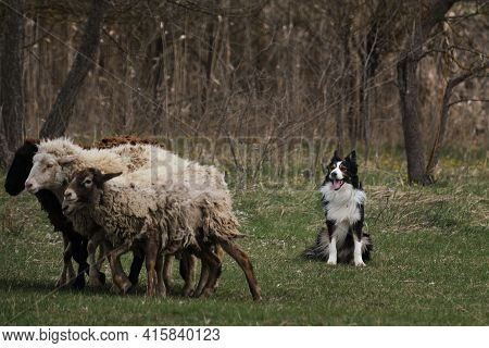 A Border Collie Sits And Looks At A Herd Of Sheep Eating Fresh Green Grass. Sports Cattle Grazing. B