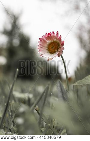 Vertical Outdoor Conceptual Picture Of A Lonely Wild Colorful Flower With Pink Petal Around Yellow H