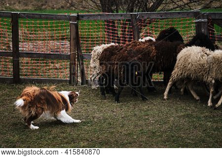 Sports Standard For Dogs On The Presence Of Herding Instinct. The Smartest Breed In The World. Brown