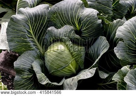 White Cabbage, Brassica Oleracea, In Vegetable Patch, Organic Farming, Before The Harvest