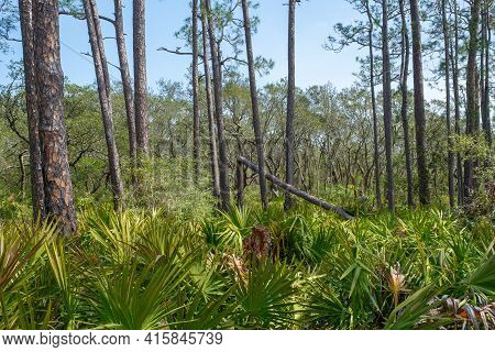 Pine Trees And Palmettos Along Pine Beach Trail In Bon Secour National Wildlife Refuge In Gulf Shore