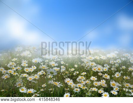 Flowers Daisies In Summer Spring Meadow In Morning Fog On Background Blue Sky With White Clouds. Sum