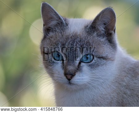 Close Up Portrait Of A Gray Cat With Blue Eyes