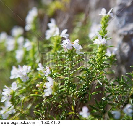 Winter savory  with small  blossoms of pale lavender color in sunlight, province Salerno,  Italy. Shallow DOF. Selective Focus.