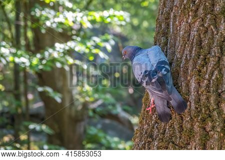 The Fat Pigeon Sitting On A Tree Trunk With Moss. Domestic Pigeon Bird And Green Blurred Natural Bac