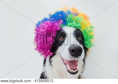Cute Puppy Dog With Funny Face Border Collie Wearing Colorful Curly Clown Wig Isolated On White Back