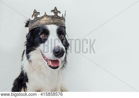 Cute Puppy Dog With Funny Face Border Collie Wearing King Crown Isolated On White Background. Funny
