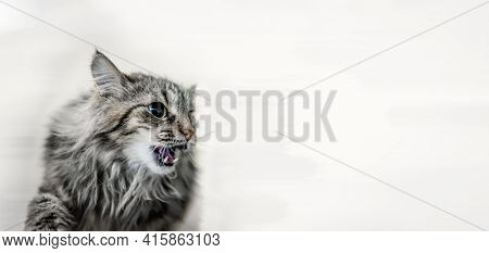 Portrait Of A Gray Aggressive Siberian Cat Close-up. The Cat Growls Aggressively, Showing Its Fangs.