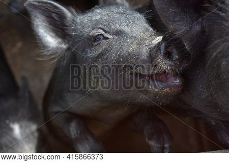 Adorable Smiling Black Piglet That Looks Like His Is Smiling.