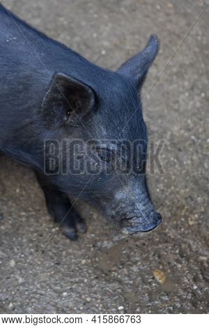 Really Cute Black Piglet With His Head Down Slightly.