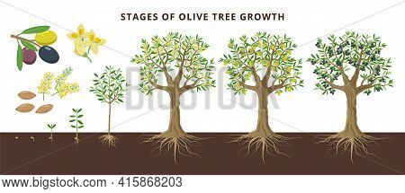 Olive Tree Growing Stages Froom Seed, Seedling, Sprout, Flowering, Ripe Olive Fruits, Green, Yellow